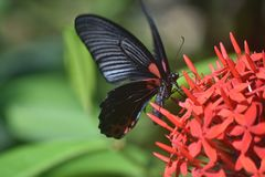 Capture fantastique d'un papillon de machaon d'écarlate sur des fleurs Photo stock