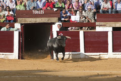 Capture of the figure of a brave bull in a bullfight going out of bullpens Royalty Free Stock Image