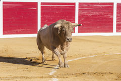 Capture of the figure of a brave bull in a bullfight. Sabiote, Spain Stock Photos