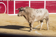 Capture of the figure of a brave bull in a bullfight. Sabiote, Spain Royalty Free Stock Image