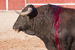 Capture of the figure of a brave bull in a bullfight Stock Images