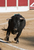 Capture of the figure of a brave bull in a bullfight Stock Photography