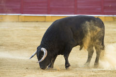 Capture of the figure of a brave bull in a bullfight Royalty Free Stock Photos