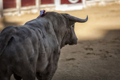 Capture of the figure of a brave bull in a bullfight Royalty Free Stock Image