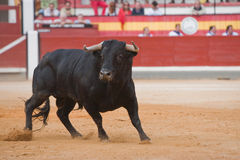 Capture of the figure of a brave bull in a bullfight. Spain Royalty Free Stock Photo