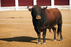 Capture of the figure of a brave bull in a bullfight. Spain Stock Image