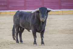Capture of the figure of a brave bull in a bullfight. Spain Royalty Free Stock Image