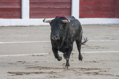 Capture of the figure of a brave bull of hair black color in a bullfight. Spain Royalty Free Stock Images