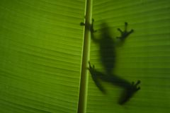 Shadow Frog Royalty Free Stock Photos
