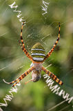 Capture locusts stripes Argiope Stock Photo