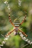 Capture locusts stripes Argiope Stock Photo