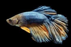 capture mover-se dos peixes de combate isolados no fundo preto fotografia de stock