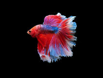 Capture the moving moment beautiful of siam blue halfmoon betta Royalty Free Stock Photos