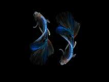 Capture the moving moment beautiful of siam blue halfmoon betta Stock Image