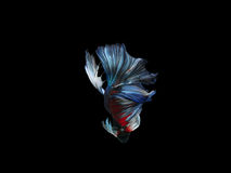 Capture the moving moment beautiful of siam blue halfmoon betta Royalty Free Stock Images