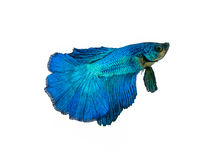 Capture the moving moment beautiful of siam blue halfmoon betta Stock Photography