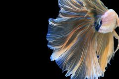 Capture the moving moment of Betta Fish on black background stock photo