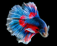 Capture the moving moment of blue siamese fighting fish stock images
