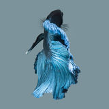 Capture the moving moment of blue siamese fighting fish Stock Photos