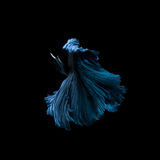 Capture the moving moment of blue siamese fighting fish Stock Image