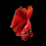 Capture the moving moment of fighting fish isolated on black bac Stock Photo