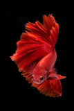 Capture the moving moment of fighting fish isolated on black bac Royalty Free Stock Photo