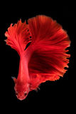 Capture the moving moment of fighting fish isolated on black bac Stock Images