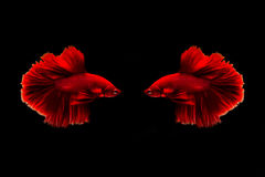 Capture the moving moment of golden copper siamese fighting fish and red betta fish isolated on black background. Betta fish Royalty Free Stock Photography