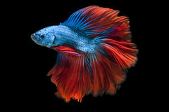 Capture the moving moment of red-blue betta fish Royalty Free Stock Image