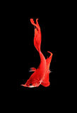 Capture the moving moment of red siamese fighting fish isolated Stock Photos