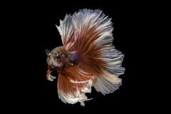 Capture the moving moment of siamese fighting fish, betta fish i Stock Image