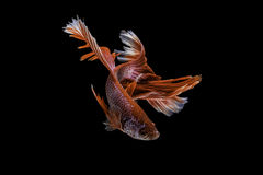 Capture the moving moment of siamese fighting fish, betta fish i Royalty Free Stock Image