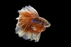 Capture the moving moment of siamese fighting fish, betta fish i Stock Photos