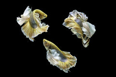 Capture the moving moment of siamese fighting fish, betta fish i Stock Photography