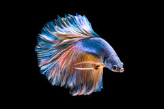 Capture the moving moment of white siamese fighting fish isolate. D on black background Stock Images