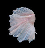 Capture the moving moment of white siamese fighting fish isolate Stock Image