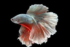 Capture the moving moment of white siamese fighting fish isolate. D on black background Royalty Free Stock Image