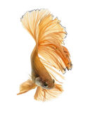 Capture the moving moment of yellow siamese fighting fish Royalty Free Stock Photo