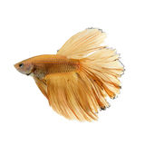 Capture the moving moment of yellow siamese fighting fish Royalty Free Stock Photos