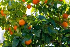 Oranges on the tree stock image