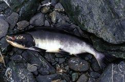 Capture salmon Stock Image