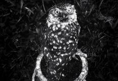 Burrowing Owl royalty free stock photos