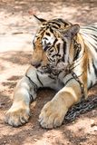 Captured asian bengal tiger in open space in metal chain Stock Photo