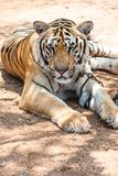 Captured asian bengal tiger in open space in metal chain Royalty Free Stock Photos