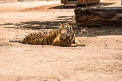 Captured asian bengal tiger in open space in metal chain Stock Photography