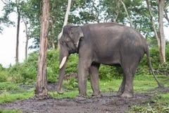 Captured asian elephant Royalty Free Stock Photography