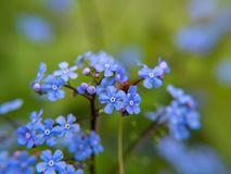 Blue flowers on green background. Captured on a beautiful day after rain with Panasonic GH5 / Isolated on Photoshop royalty free stock photo