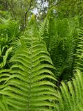 Green ferns in the forest stock photography