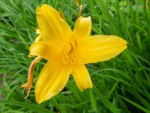 yellow lily flower in the garden stock photos