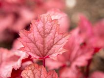 Red leaf in the garden royalty free stock photo